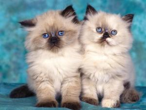 Cute-Wallpapers-cute-kittens-10501753-1152-864